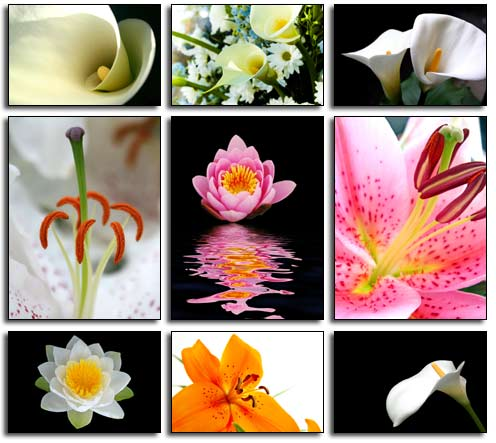 Lily Images